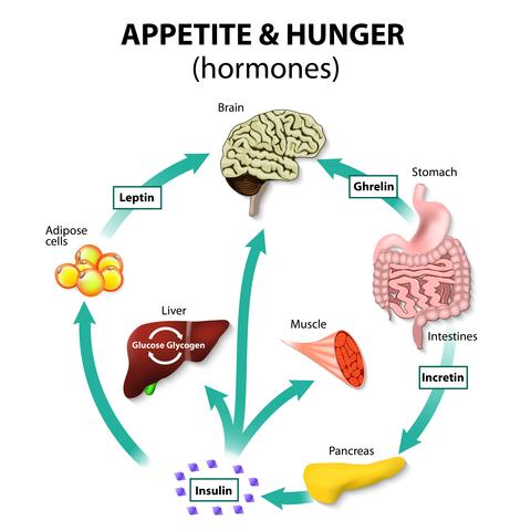 Stage 1: Metabolic Hormone Recalibration